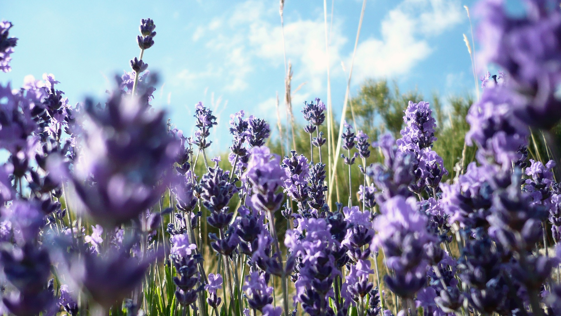lavender background wallpaper - HD1920×1080