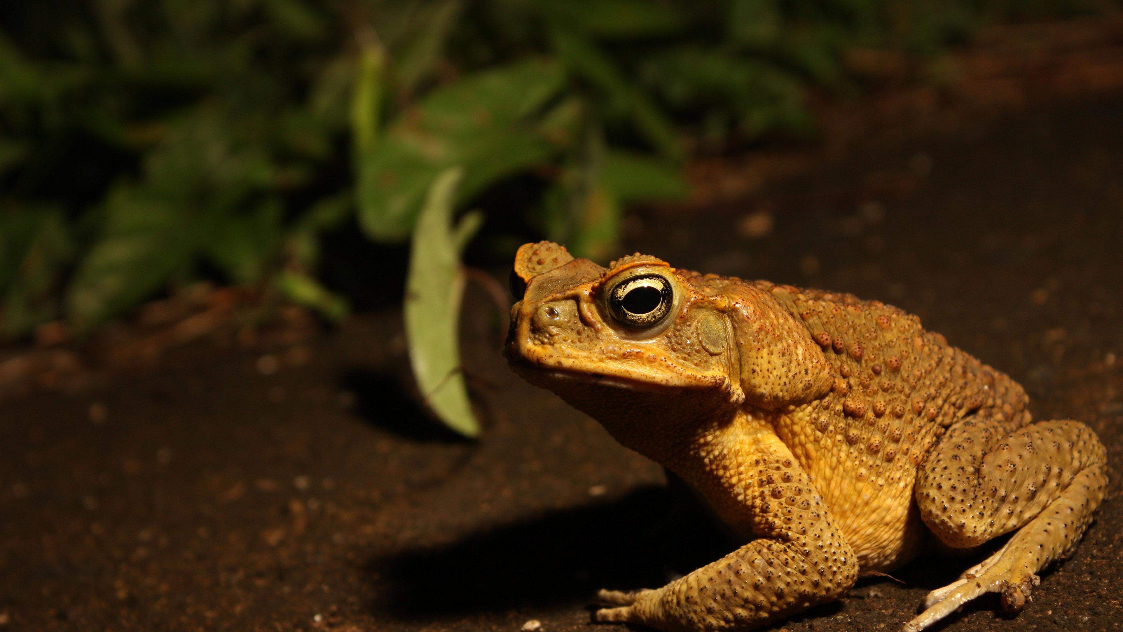 Toad Wallpaper 98