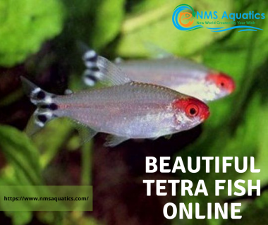 beautiful tetra fish online . . . . . https://www.nmsaquatics.com/ . . . . . . . . #tetra #aquarium #fish #aquascape #fishtank #plantedtank #plantedaquarium #aquariumhobby #aquascaping #tetrafish #tropicalfish#neontetrA #aquariumfish #aquariums #freshwater #freshwateraquarium #plants#bhfyp  Buy aquarium online and aquascaping in Malaysia | Shop best aquarium tanks online and other aquarium products online