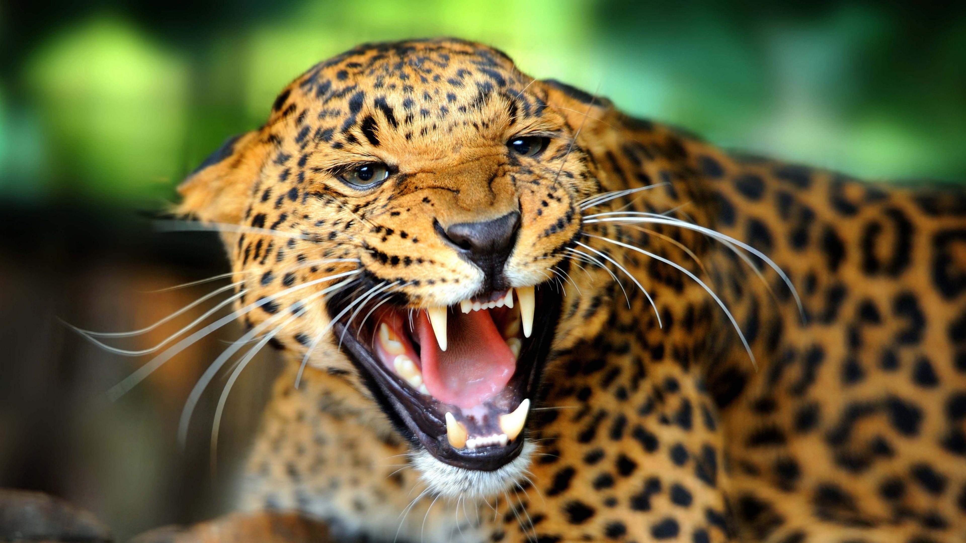 leopard 4k imgpile. Black Bedroom Furniture Sets. Home Design Ideas