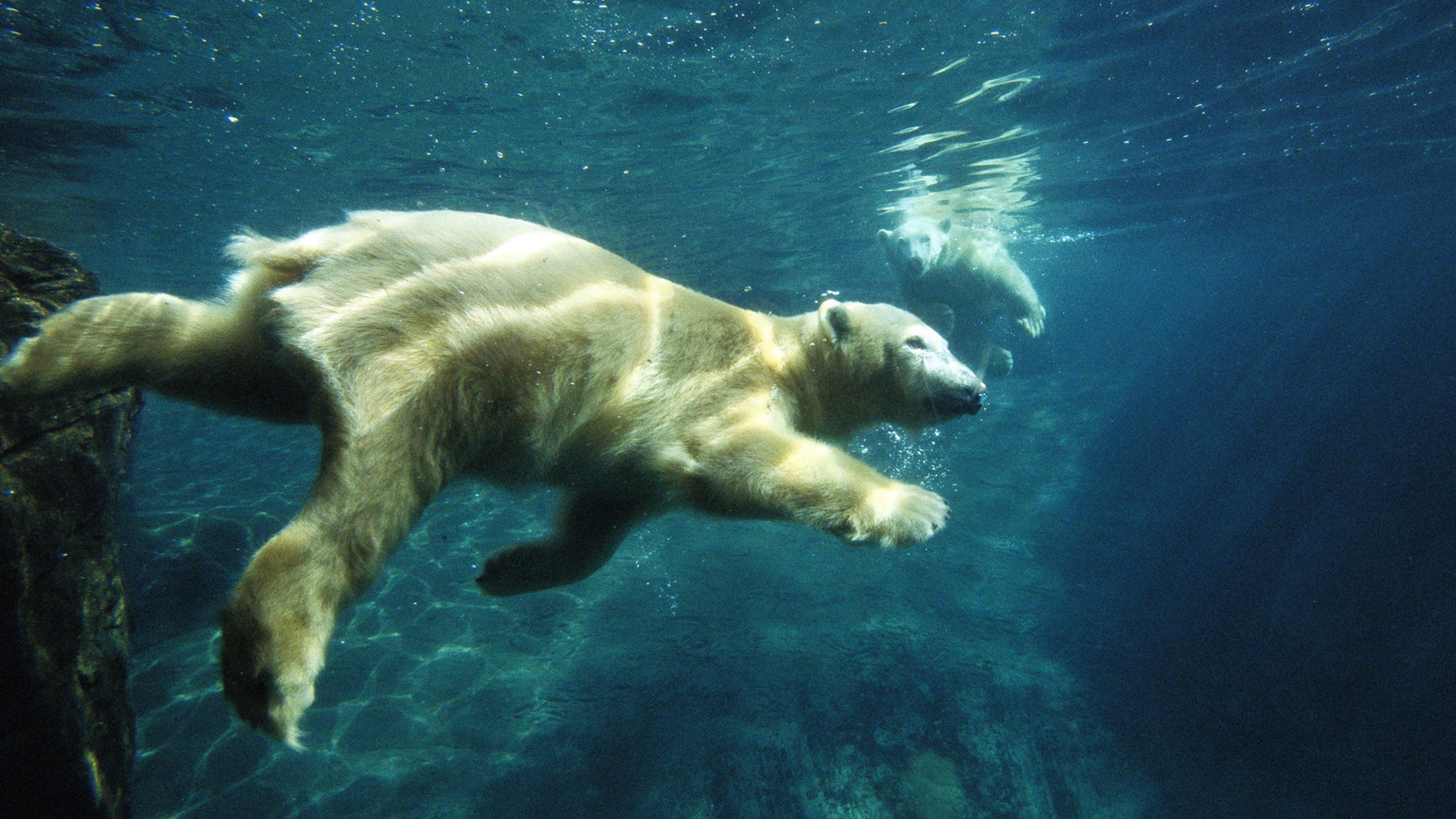 Polar Bear Swimming Underwater Animals Ultra 3840x2160 Computer