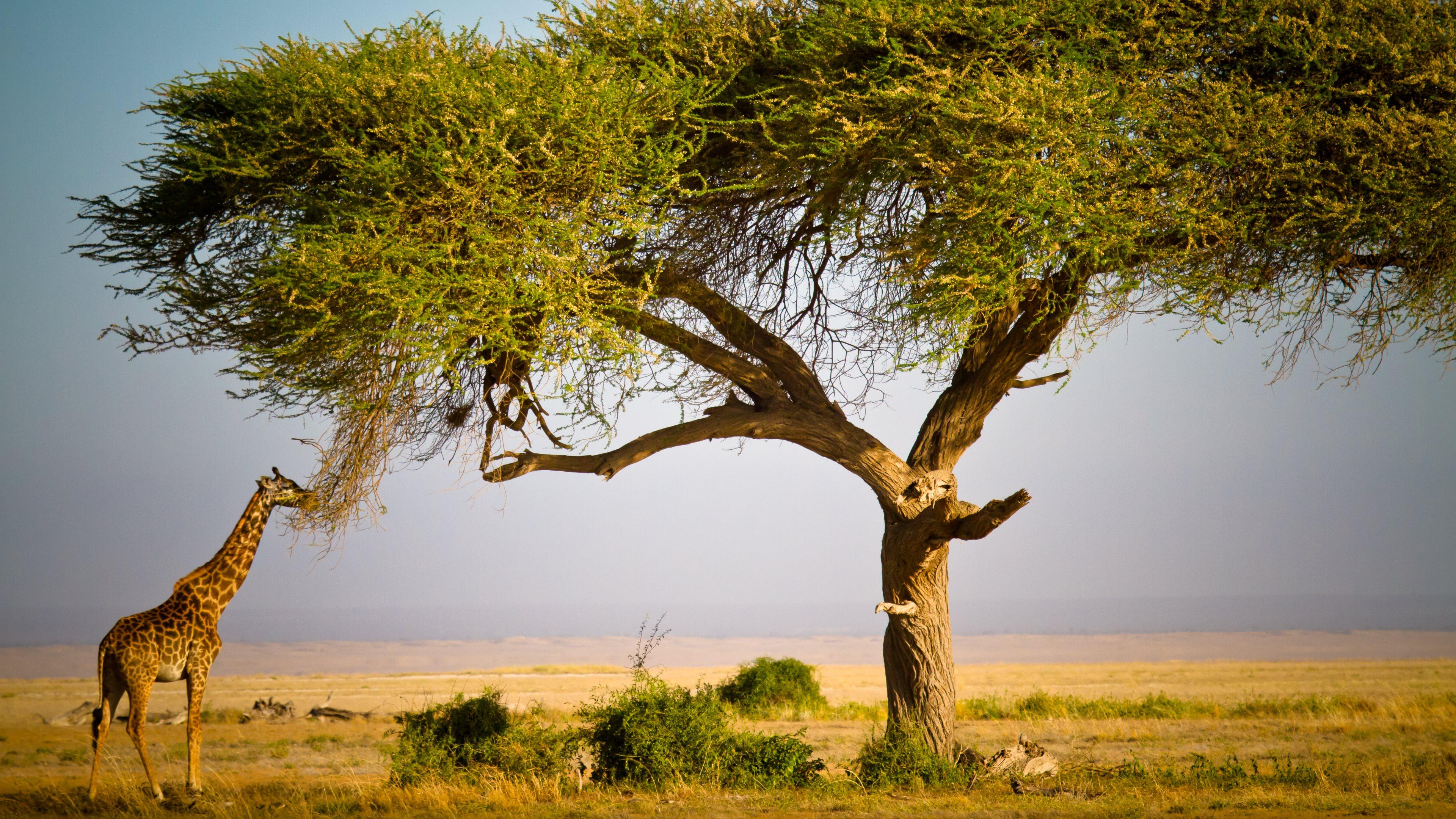 Giraffe Masai Mara Ultra Hd Wallpapers Imgpile